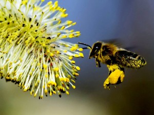 Bee-pollen-supplements2
